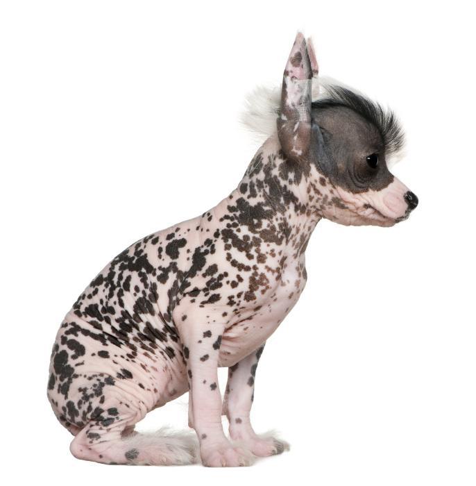 https://cf.ltkcdn.net/dogs/images/slide/127015-686x700r1-Crested-pup-1.jpg