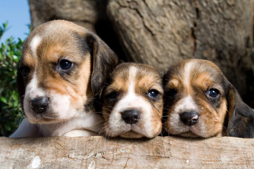 Beautiful Small Beagle Adorable Dog - 185060-849x565-adorable-trio-beagle-puppies  You Should Have_737311  .jpg