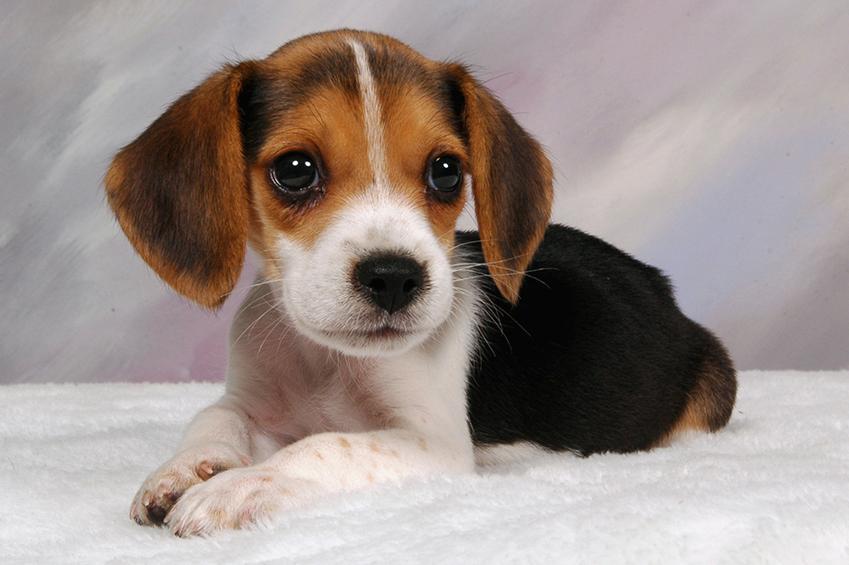 Beagle puppy pictures lovetoknow professional puppy portrait voltagebd Choice Image