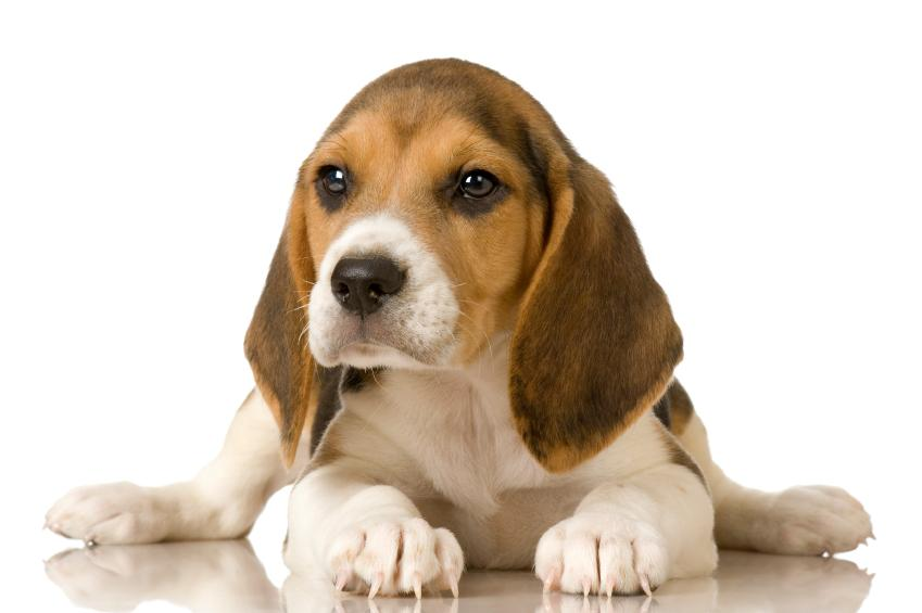 Beagle puppy pictures lovetoknow beagle puppy source posing for a picture source adorable trio voltagebd Image collections