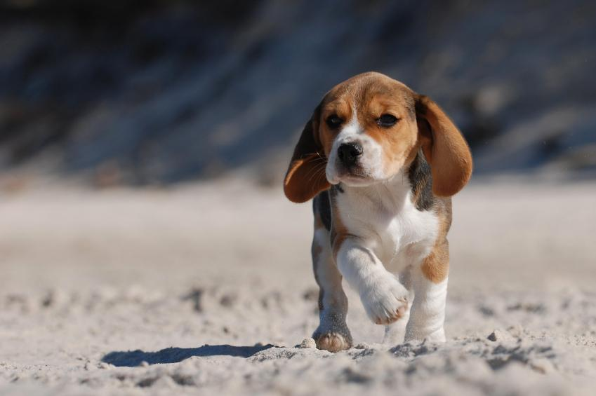 Beagle puppy pictures lovetoknow beagle pup on beach patrol voltagebd Image collections