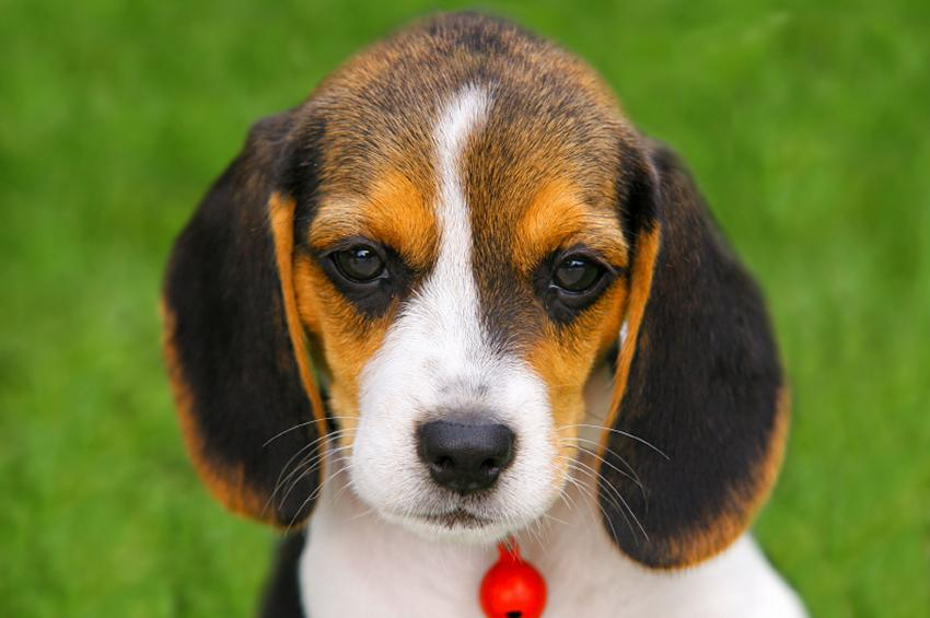 Beagle puppy pictures lovetoknow beagle puppy voltagebd Image collections