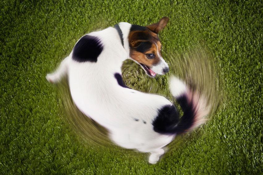 https://cf.ltkcdn.net/dogs/images/slide/187967-850x566-dog-chasing-own-tail.jpg