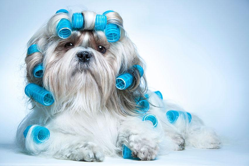 https://cf.ltkcdn.net/dogs/images/slide/190020-850x567-dog-with-blue-rollers.jpg