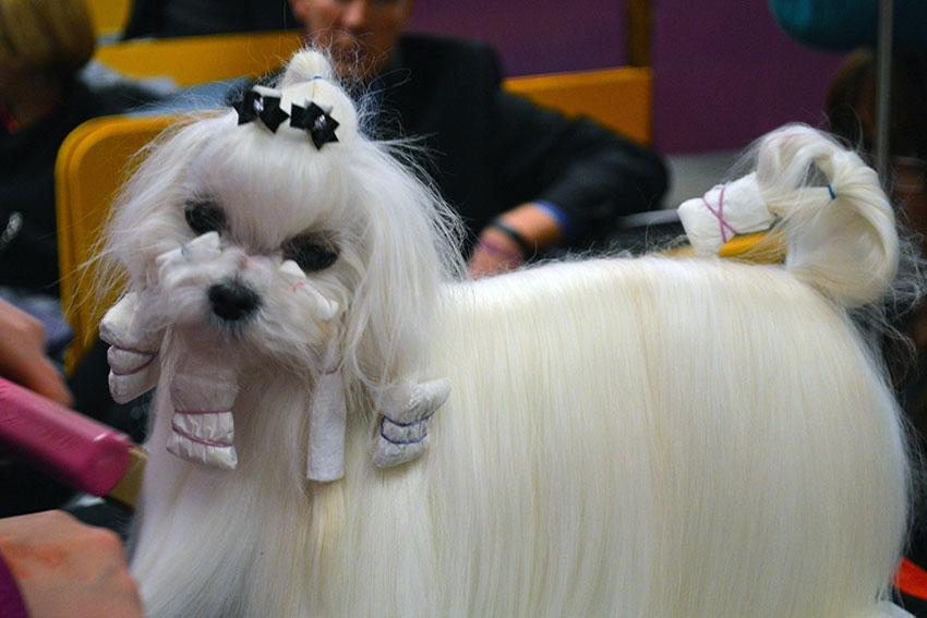 https://cf.ltkcdn.net/dogs/images/slide/190025-850x567-dog-getting-hair-done.jpg