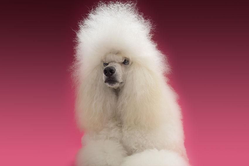 https://cf.ltkcdn.net/dogs/images/slide/190317-850x567-Long_Haired_Poodle.jpg