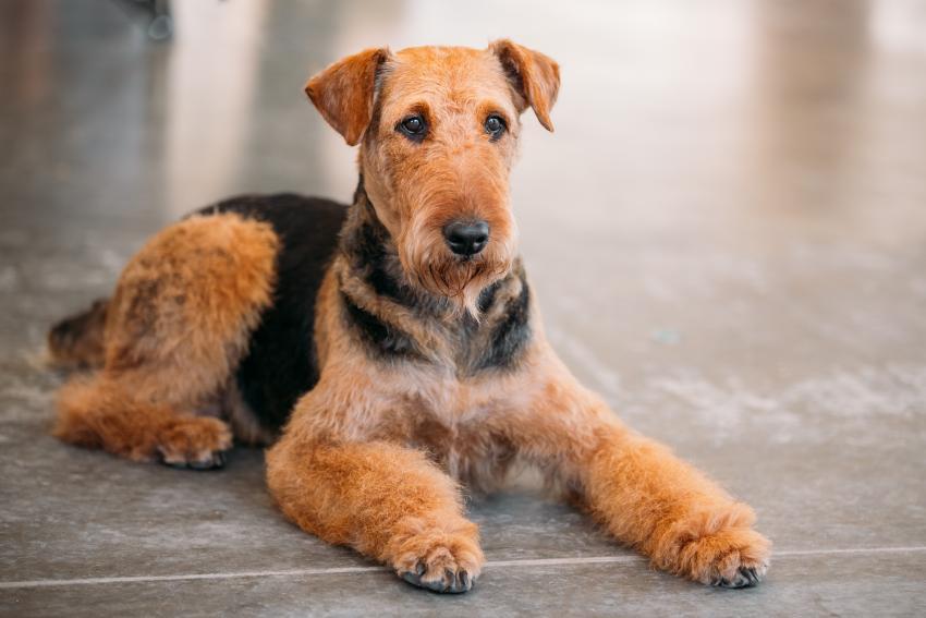 https://cf.ltkcdn.net/dogs/images/slide/207894-850x567-Airedale-Terrier.jpg
