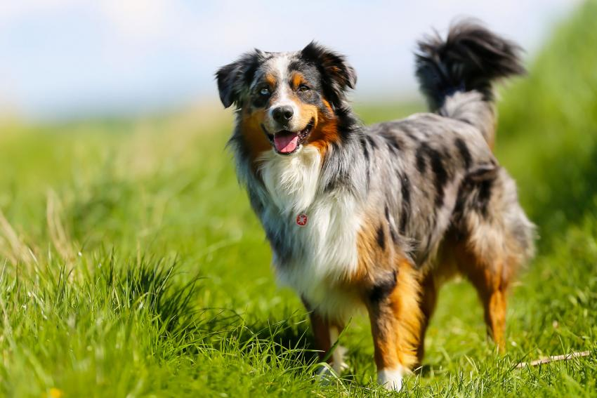 https://cf.ltkcdn.net/dogs/images/slide/207896-850x567-Australian-Shepherd.jpg