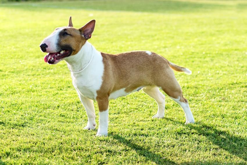 https://cf.ltkcdn.net/dogs/images/slide/207898-850x567-Bull-Terrier.jpg