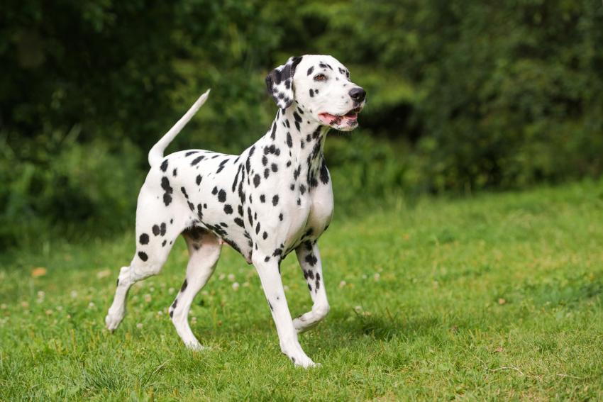 https://cf.ltkcdn.net/dogs/images/slide/207899-850x567-Dalmatian-dog.jpg