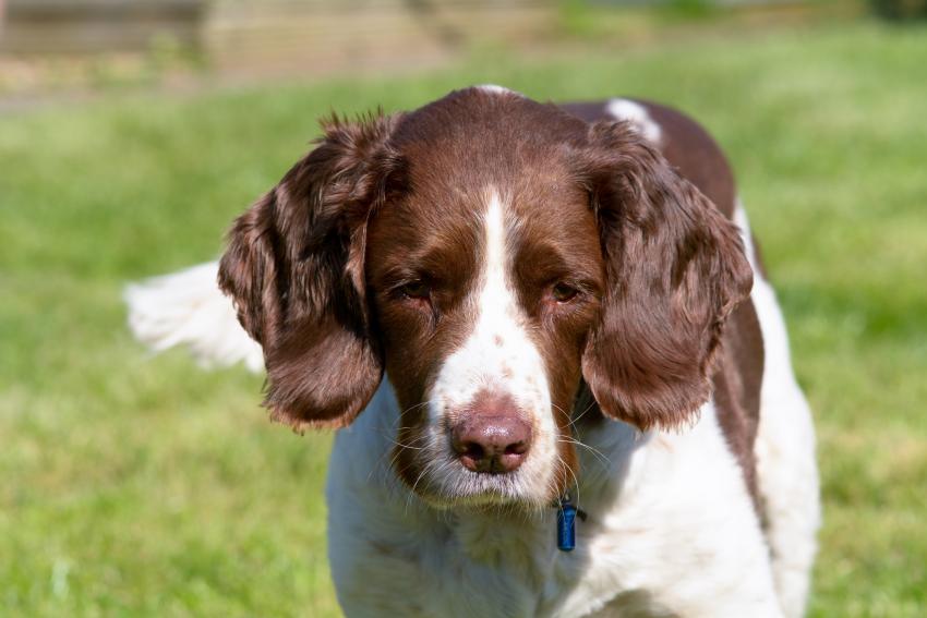 https://cf.ltkcdn.net/dogs/images/slide/207900-850x567-English-springer-spaniel.jpg