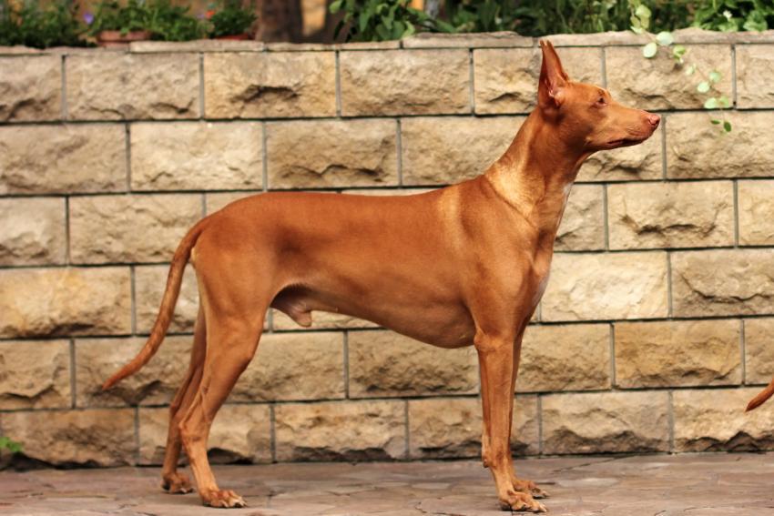 https://cf.ltkcdn.net/dogs/images/slide/207901-850x567-Pharaoh-hound.jpg