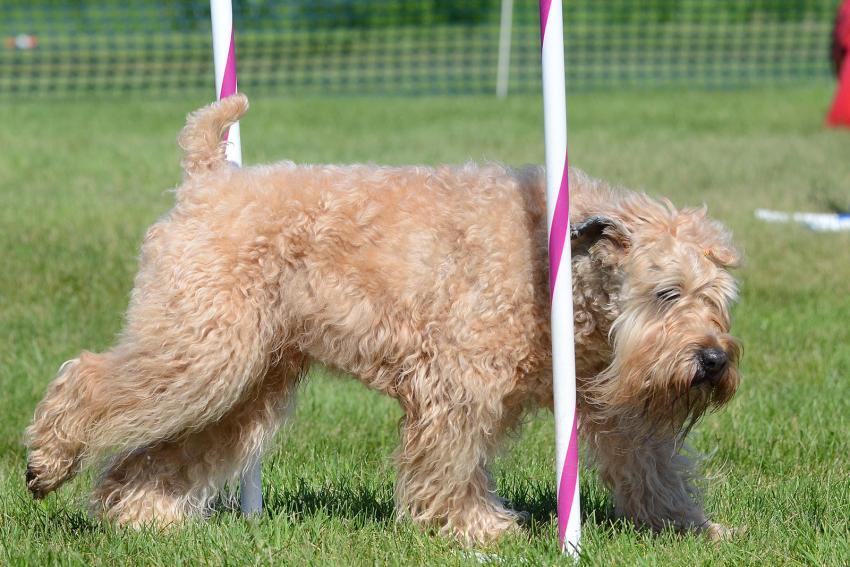 https://cf.ltkcdn.net/dogs/images/slide/207903-850x567-Soft-Coated-Wheaten-Terrier.jpg