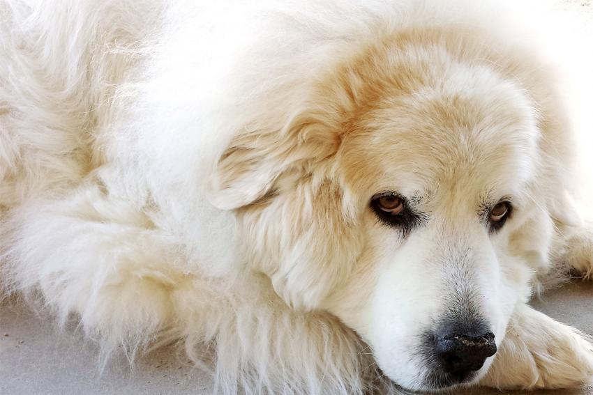 https://cf.ltkcdn.net/dogs/images/slide/208200-850x567-Great-Pyrenees.jpg
