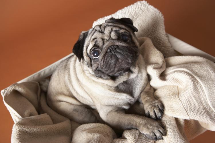 https://cf.ltkcdn.net/dogs/images/slide/208277-750x500-pug.jpg