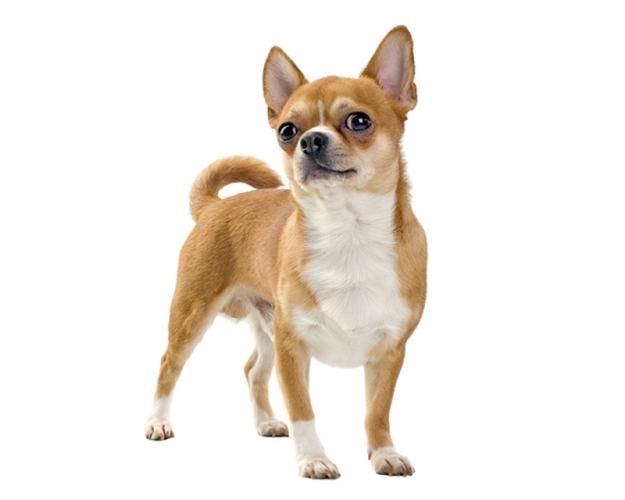 https://cf.ltkcdn.net/dogs/images/slide/208345-625x500-chihuahua2.jpg