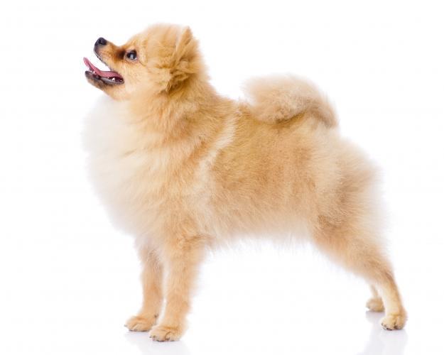 https://cf.ltkcdn.net/dogs/images/slide/208348-625x500-pomeranian.jpg
