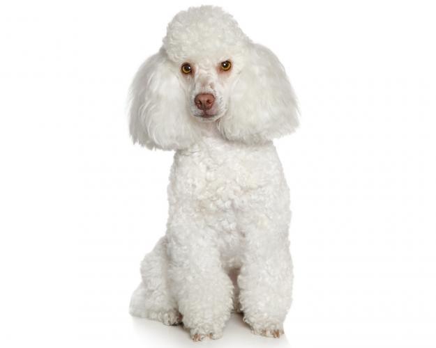 https://cf.ltkcdn.net/dogs/images/slide/208354-625x500-toypoodle.jpg