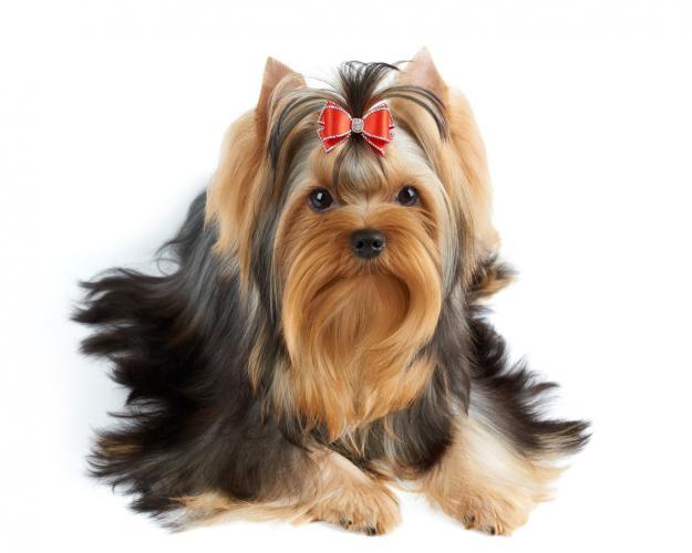 https://cf.ltkcdn.net/dogs/images/slide/208355-625x500-yorkie.jpg