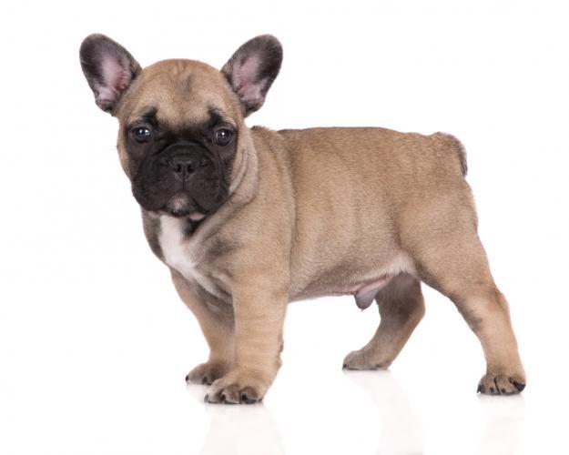 https://cf.ltkcdn.net/dogs/images/slide/208356-625x500-frenchbulldog.jpg