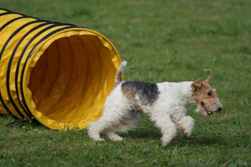 https://cf.ltkcdn.net/dogs/images/slide/208946-850x567-Agility-tunnel---foxterier.jpg