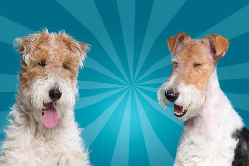 Pictures of Wire Haired Fox Terrier | LoveToKnow