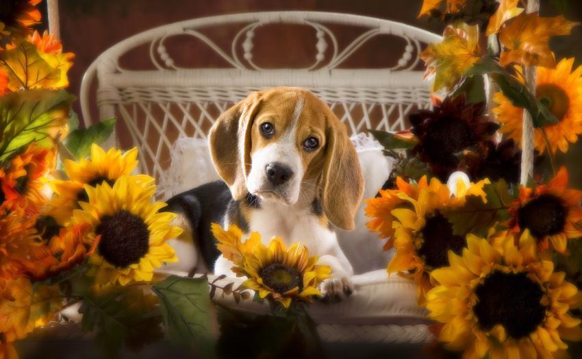 https://cf.ltkcdn.net/dogs/images/slide/234634-850x524-beagle-with-sunflowers.jpg