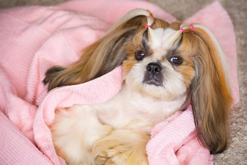 https://cf.ltkcdn.net/dogs/images/slide/234635-850x567-shih-tzu.jpg
