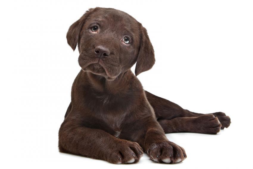 https://cf.ltkcdn.net/dogs/images/slide/238453-850x566-chocolate-lab-puppy.jpg