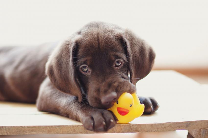 https://cf.ltkcdn.net/dogs/images/slide/238456-850x566-Chocolate-Lab-Puppy-Toy-Ducky.jpg