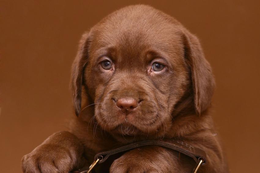 https://cf.ltkcdn.net/dogs/images/slide/238499-850x566-puppy-chocolate-labrador.jpg