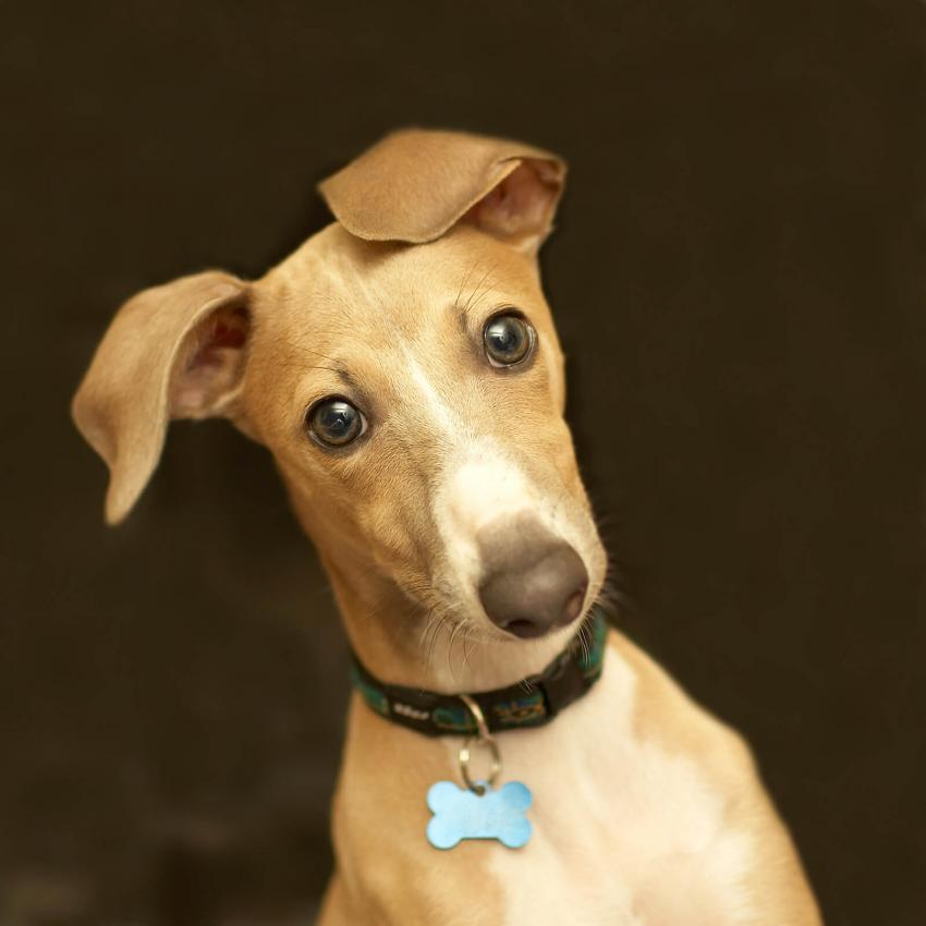 https://cf.ltkcdn.net/dogs/images/slide/244101-850x850-8-miniature-greyhound.jpg
