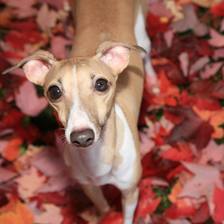 https://cf.ltkcdn.net/dogs/images/slide/244110-850x850-5-miniature-greyhound.jpg