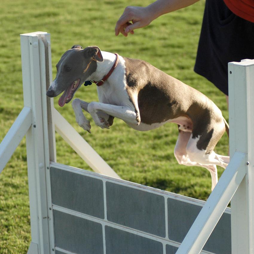 https://cf.ltkcdn.net/dogs/images/slide/244111-850x850-6-miniature-greyhound.jpg