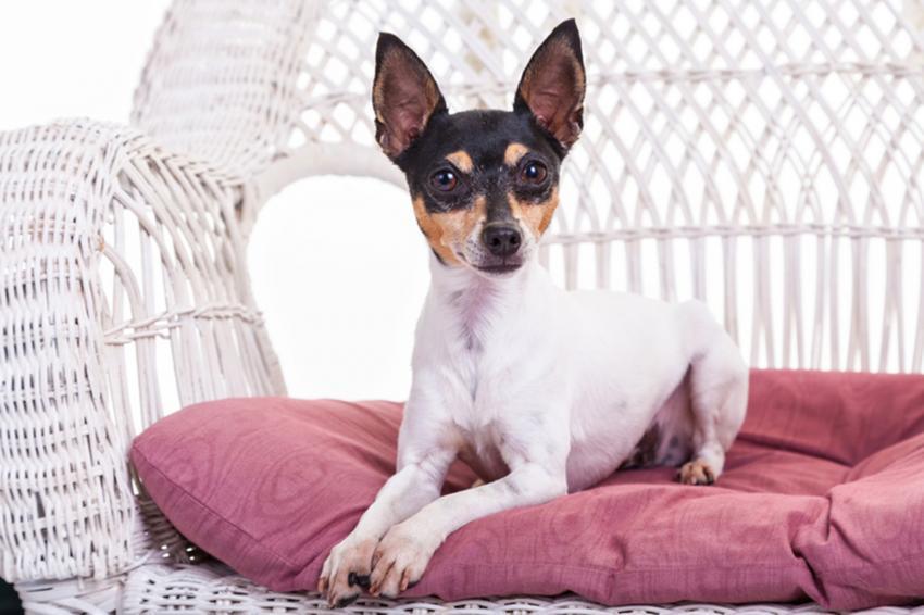 https://cf.ltkcdn.net/dogs/images/slide/245546-850x566-toy-fox-terrier.jpg