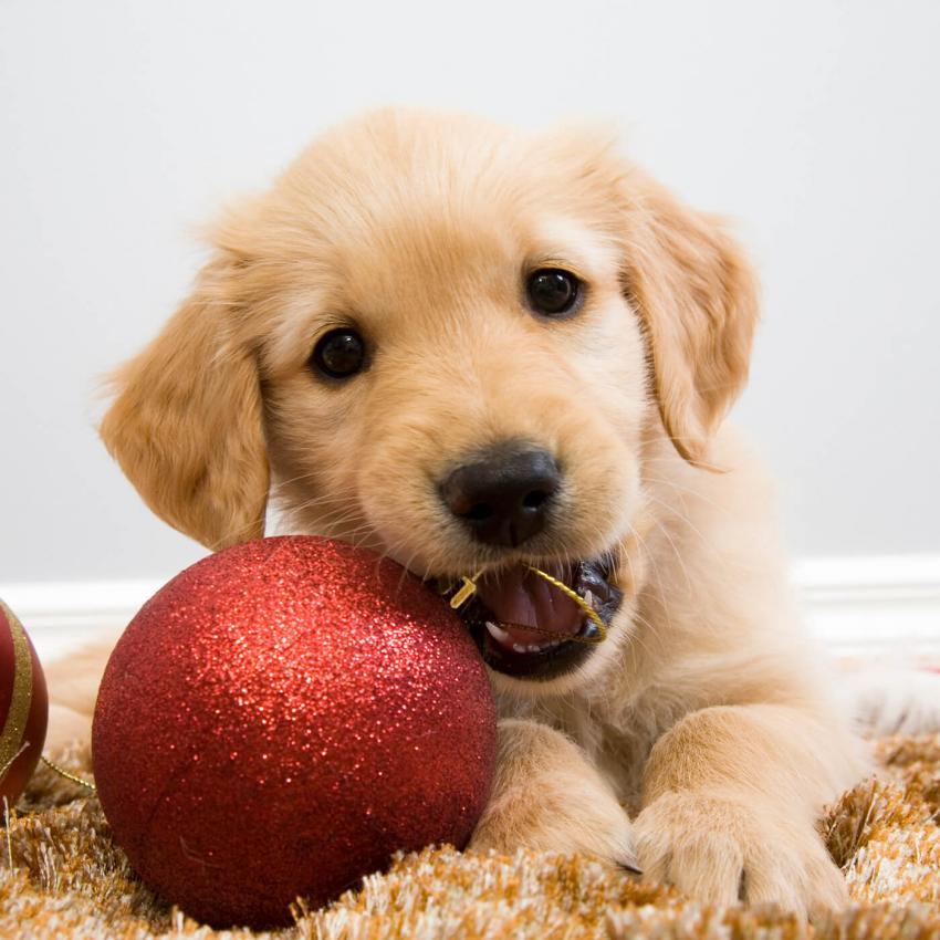 https://cf.ltkcdn.net/dogs/images/slide/245720-850x850-12-christmas-dog-pictures.jpg