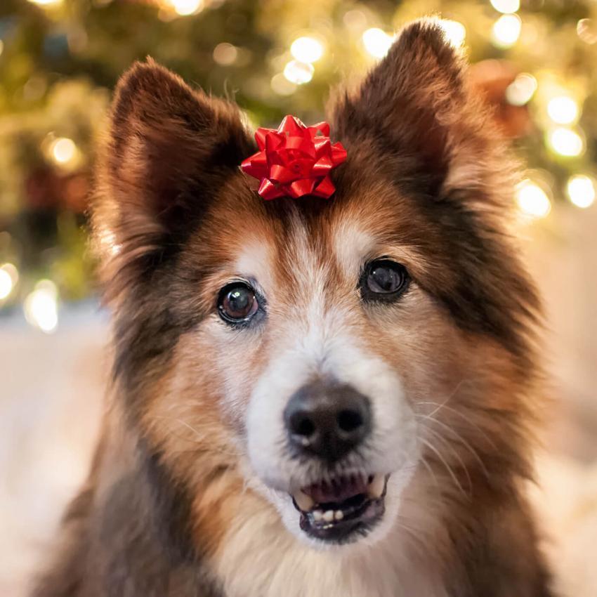 https://cf.ltkcdn.net/dogs/images/slide/245721-850x850-13-christmas-dog-pictures.jpg