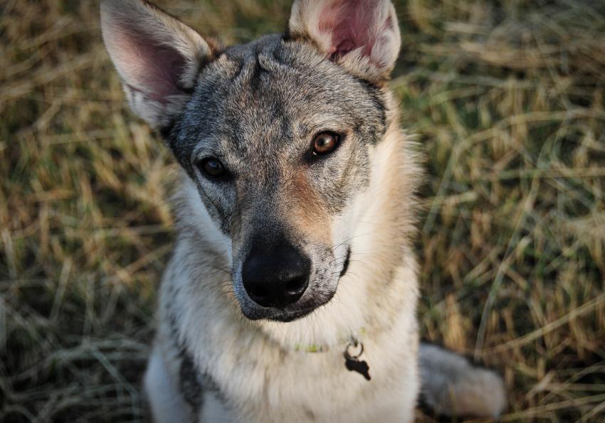 https://cf.ltkcdn.net/dogs/images/slide/250944-850x595-11_Wolf_Hybrid.jpg