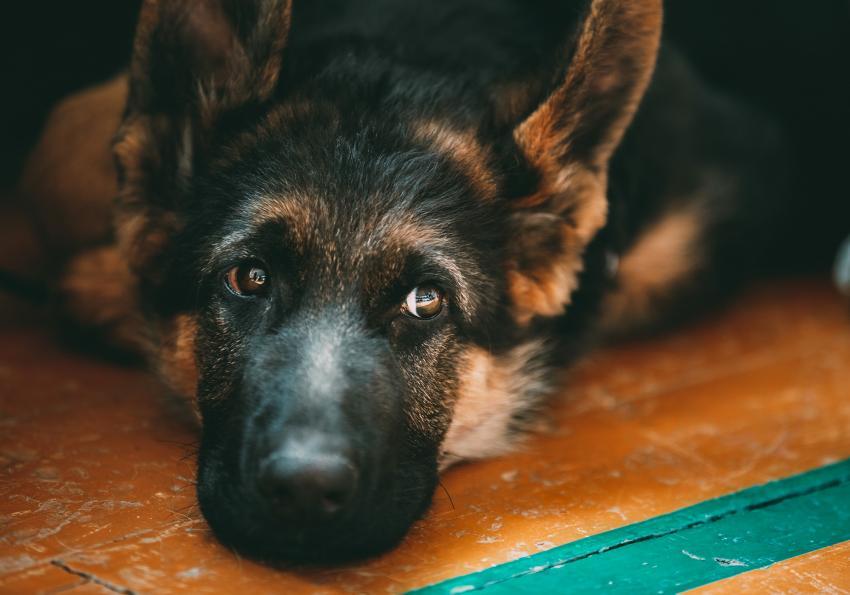 https://cf.ltkcdn.net/dogs/images/slide/250945-850x595-12_German_Shepherd.jpg