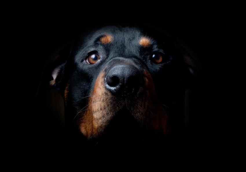 https://cf.ltkcdn.net/dogs/images/slide/250988-850x595-14_Rottweiler.jpg