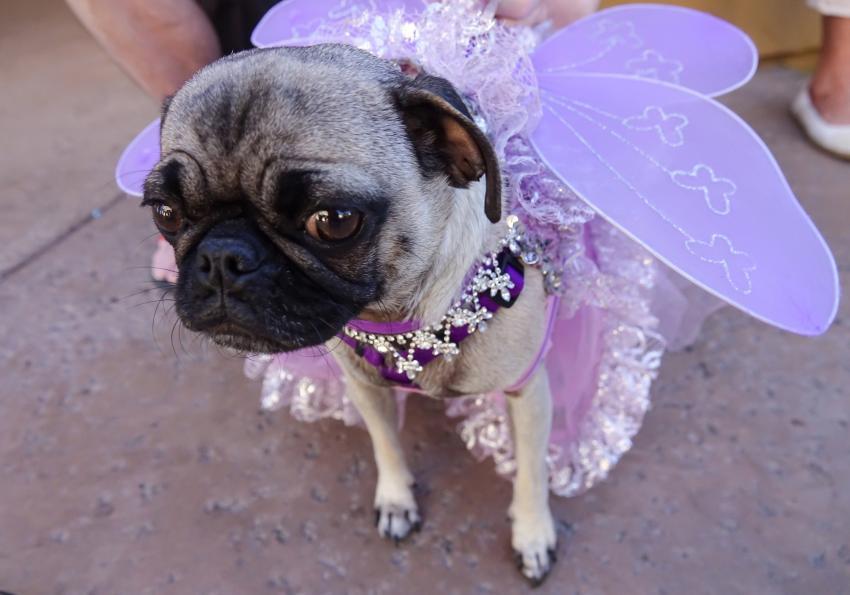 https://cf.ltkcdn.net/dogs/images/slide/252788-850x595-15_Halloween_dog_fairy.jpg