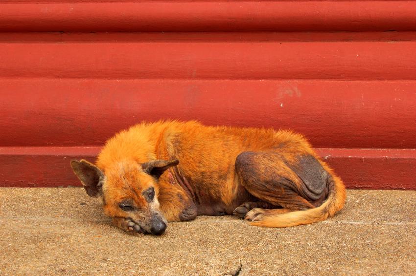 https://cf.ltkcdn.net/dogs/images/slide/90272-850x565-Dog-with-mange.jpg