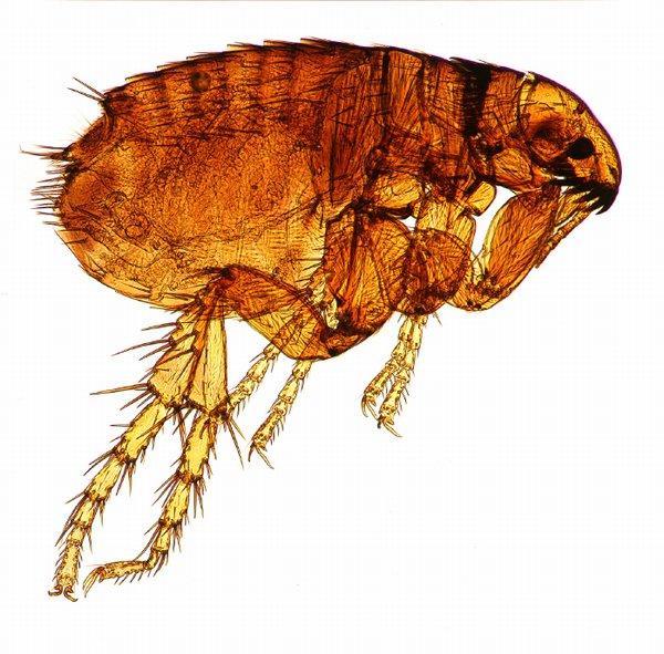 https://cf.ltkcdn.net/dogs/images/slide/90273-600x591-600_Flea-parasite.jpg