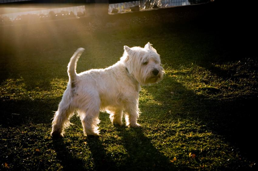 https://cf.ltkcdn.net/dogs/images/slide/90285-850x565-Westie-female.jpg