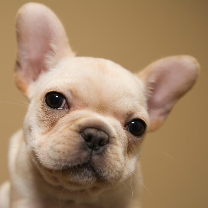 https://cf.ltkcdn.net/dogs/images/slide/90301-693x693-Sweet-Frenchie-pup.jpg
