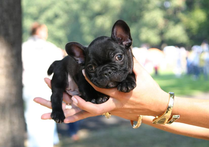https://cf.ltkcdn.net/dogs/images/slide/90302-826x581-Frenchie-pup.jpg