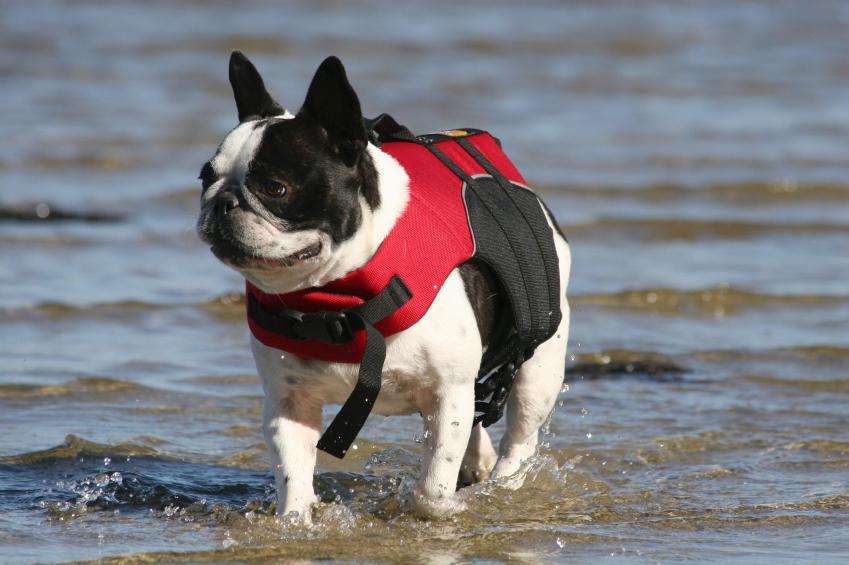 https://cf.ltkcdn.net/dogs/images/slide/90305-849x565r1-French-Bulldog-4.jpg