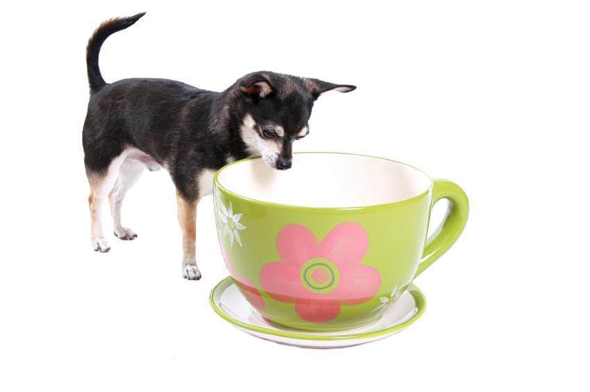 https://cf.ltkcdn.net/dogs/images/slide/90389-849x565-Teacup4.jpg