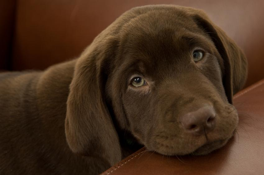 Chocolate Lab Puppy Names