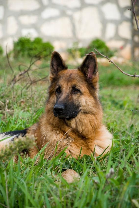 Name Ideas For German Shepherds